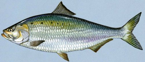 The beleaguered American Shad.