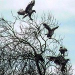 5_immature_eagles_in_a_tree_compressed