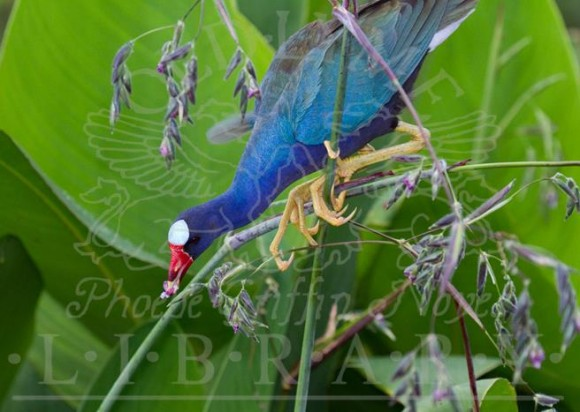 Signature photo by William Burt for his exhibition opening Friday at the Old Lyme Library of a Purple Gallinule feasting in Palm Beach County, Fla.,