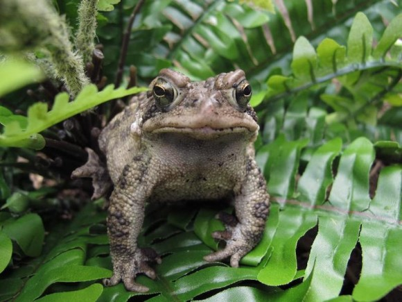 Learn how to identify the American toad (pictured above) at the upcoming Lyme Library presentation. Photo by Jill Sharp for Frogwatch USA