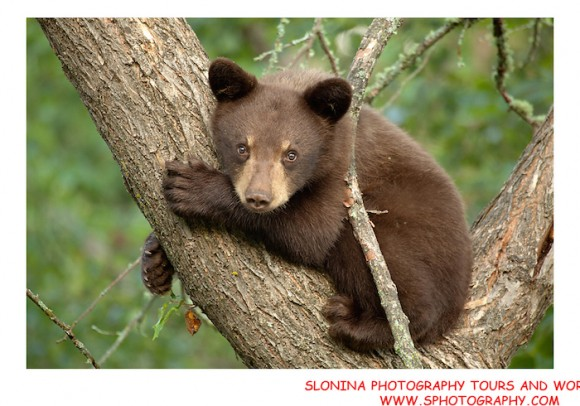 Bear cub by John Slonina.