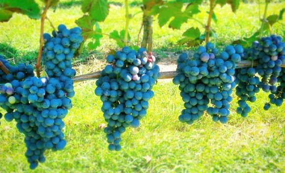Grapes_Hanging_768x466