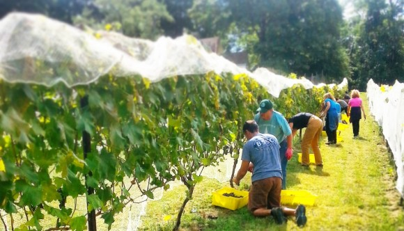 Grape-picking at Sunset Hill Vineyard. On Monday evening, Lyme's Planning and Zoning Commission will consider amendments to its zoning regulations addressing wineries, along with farms and agriculture.