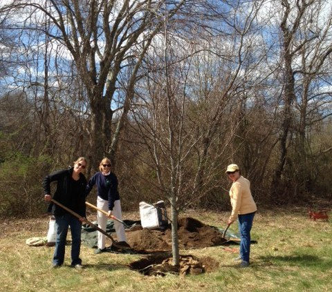 From left to right, Emily Griswold, Joanne DiCamillo and Barbara Rayel shovel soil around the beech tree.